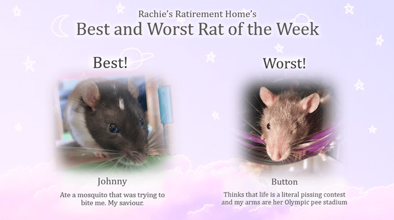 Rat - Rachie's Ratirement Home's Best and Worst Rat of the Week Best! Worst! Johnny Button Thinks that life is a literal pissing contest and my arms are her Olympic pee stadium Ate a mosquito that was trying to bite me. My saviour.