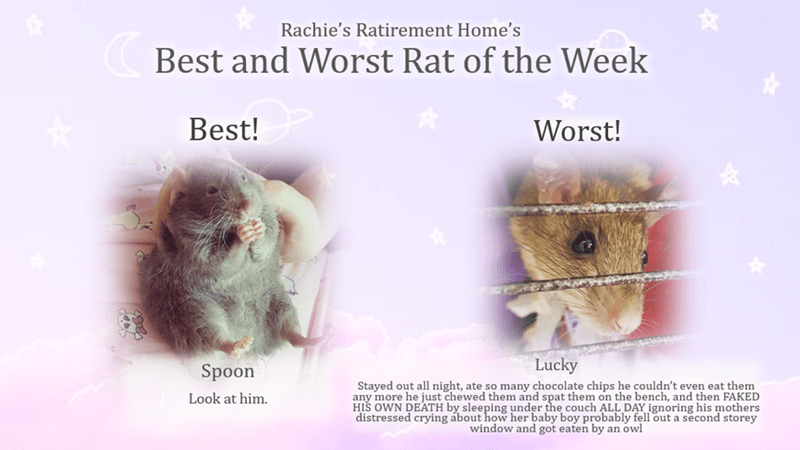 Organism - Rachie's Ratirement Home's Best and Worst Rat of the Week Best! Worst! Lucky Spoon Stayed out all night, ate so many chocolate chips he couldn't even eat them any more he just chewed them and spat them on the bench, and then FAKED HIS OWN DEATH by sleeping under the couch ALL DAY ignoring his mothers distressed crying about how her baby boy probably fell out a second storey window and got eaten by an owl Look at him.