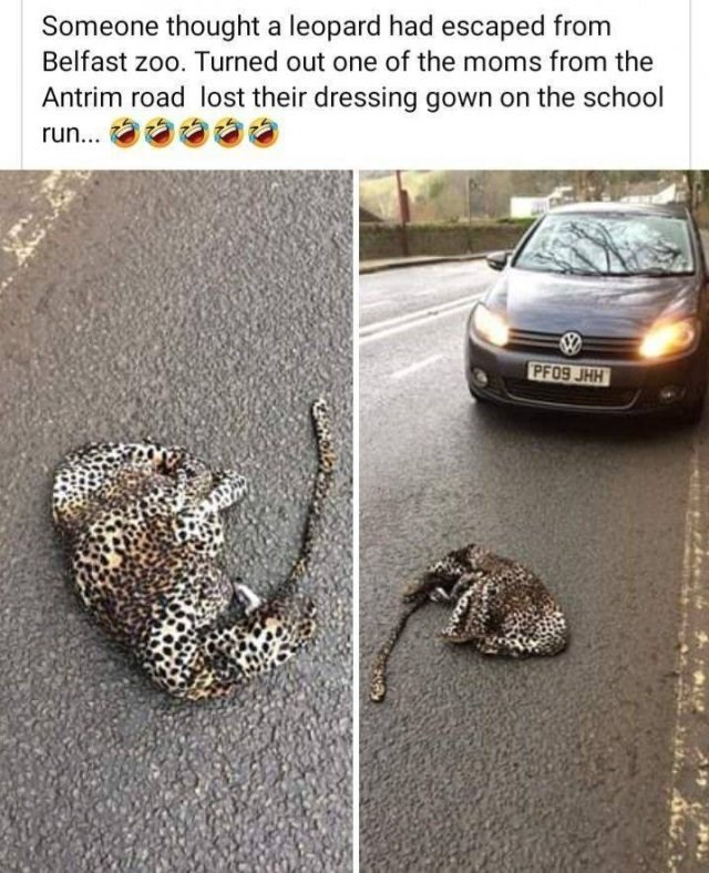 someone thought a leopard had escaped from belfast zoo turned out one of the moms from the antrim road lost their dressing gown on the school run pic of car stopped before a leopard printed robe crumbled on the road
