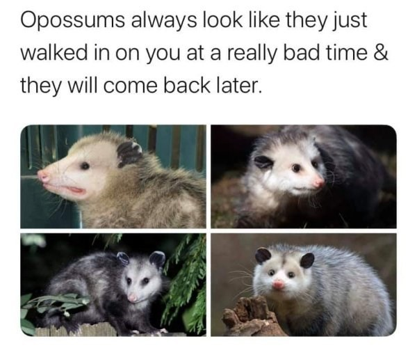Vertebrate - Opossums always look like they just walked in on you at a really bad time & they will come back later.