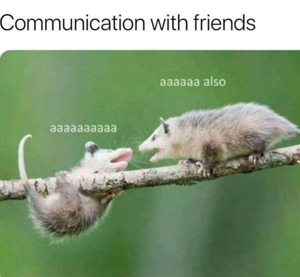 Common opossum - Communication with friends aaaaaa also aaaaaaaaaa