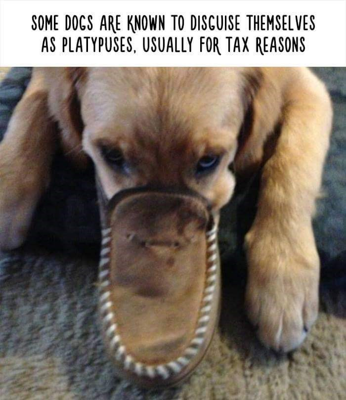 Dog breed - SOME DOGS ARE KNOWN TO DISCUISE THEMSEL VES AS PLATYPUSES, USUALLY FOR TAX REASONS