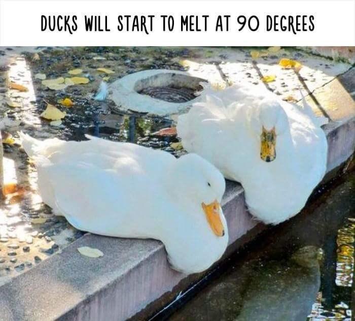 Water bird - DUCKS WILL START TO MELT AT 90 DEGREES