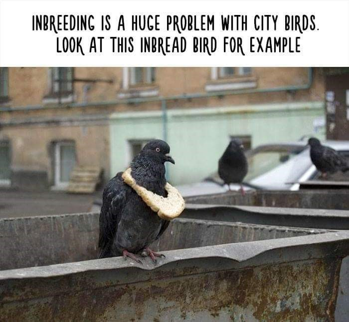 Adaptation - INBREEDING IS A HUCE PROBLEM WITH CITY BIRDS. LOOK AT THIS INBREAD BIRD FOR EXAMPLE