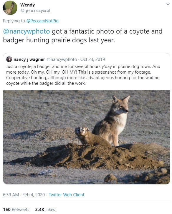 Wildlife - Wendy @geococcyxcal Replying to @PeccaryNotPig @nancywphoto got a fantastic photo of a coyote and badger hunting prairie dogs last year. nancy j wagner @nancywphoto Oct 23, 2019 Just a coyote, a badger and me for several hours y'day in prairie dog town. And more today. Oh my, OH my, OH MY! This is a screenshot from my footage. Cooperative hunting, although more like advantageous hunting for the waiting coyote while the badger did all the work. 6:59 AM - Feb 4, 2020 · Twitter Web Clien
