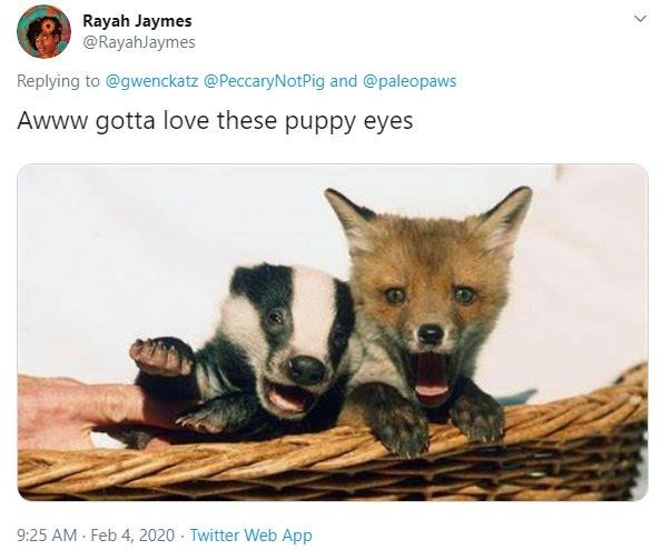 Canidae - Rayah Jaymes @RayahJaymes Replying to @gwenckatz @PeccaryNotPig and @paleopaws Awww gotta love these puppy eyes 9:25 AM Feb 4, 2020 - Twitter Web App