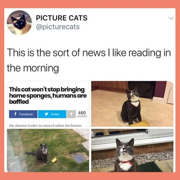 Adaptation - PICTURE CATS @picturecats This is the sort of news I like reading in the morning This cat won't stop bringing home sponges, humans are baffled 460 SHARES f Facebook Twitter He alwavs looks so nroud when he hrinas