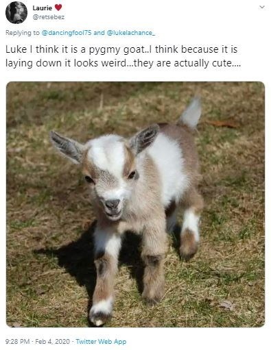 Goat - Laurie @retsebez Replying to @dancingfool75 and @lukelachance. Luke I think it is a pygmy goat.l think because it is laying down it looks weird.they are actually cute. 9:28 PM - Feb 4, 2020 - Twitter Web App
