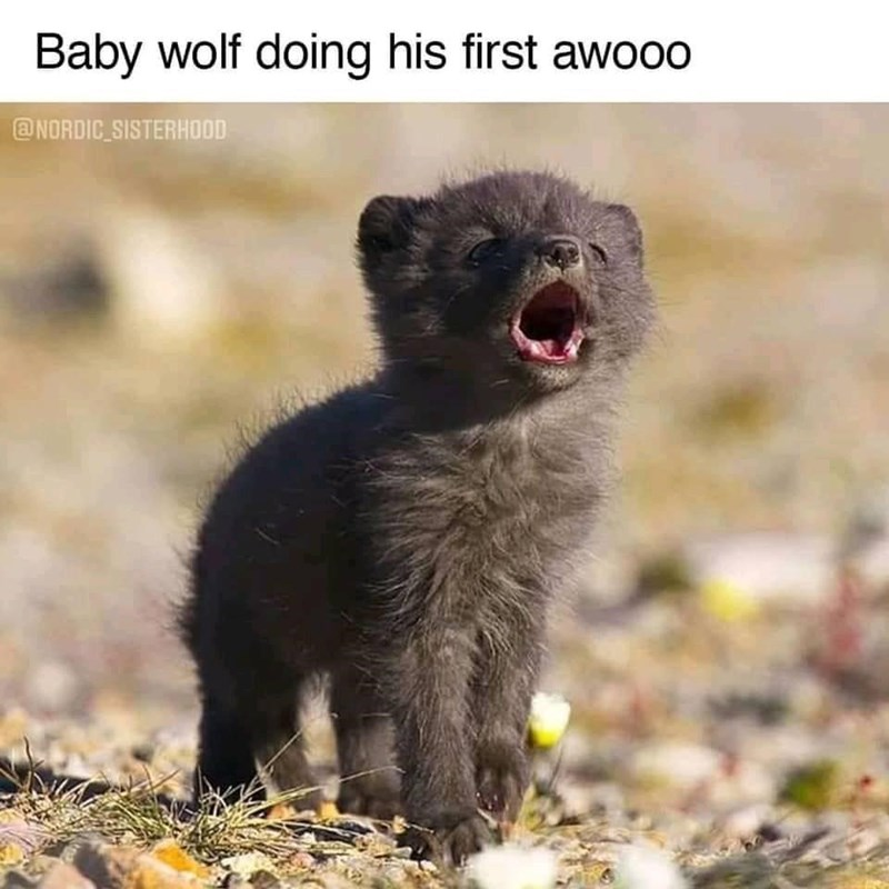 Vertebrate - Baby wolf doing his first awooo @NORDIC SISTERHOOD