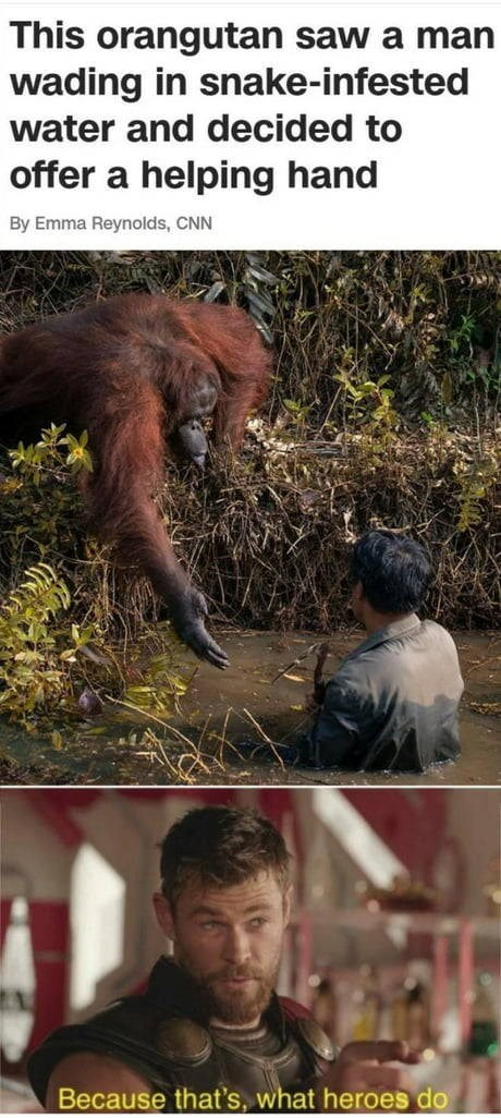 Orangutan - This orangutan saw a man wading in snake-infested water and decided to offer a helping hand By Emma Reynolds, CNN Because that's, what heroes do