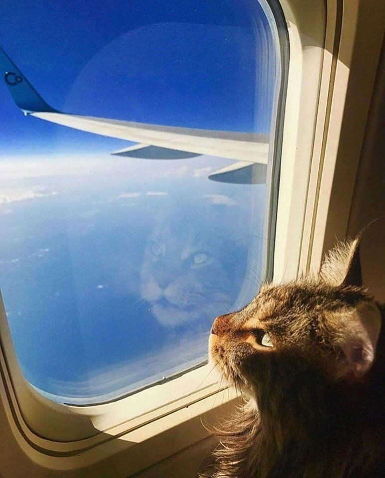 cute grey cat in an airplane seat looking out the open window at the blue sky mid flight
