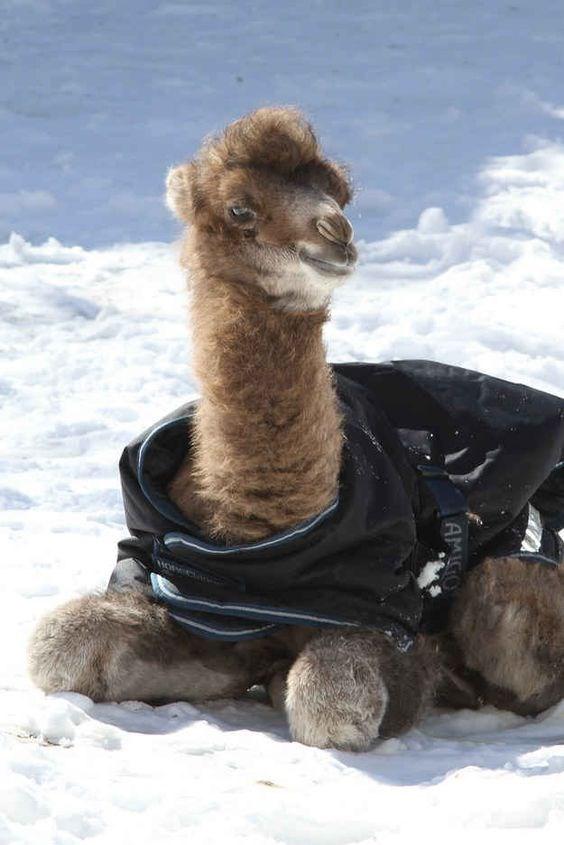 Camel - AMIGO
