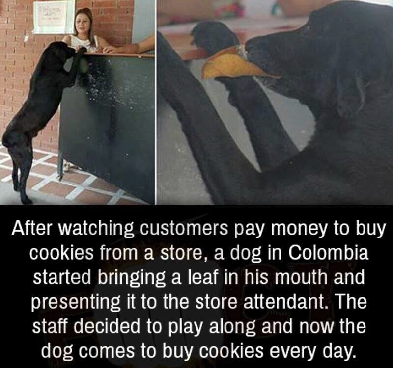 Text - After watching customers pay money to buy cookies from a store, a dog in Colombia started bringing a leaf in his mouth and presenting it to the store attendant. The staff decided to play along and now the dog comes to buy cookies every day.