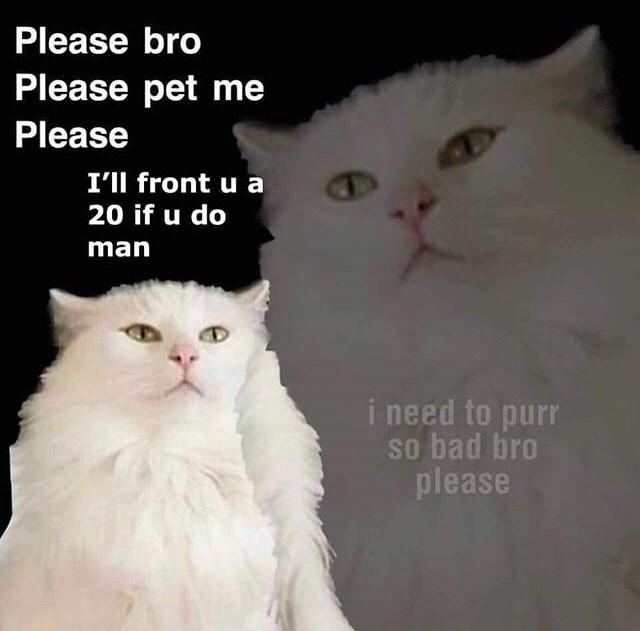 Cat - Please bro Please pet me Please I'll front u a 20 if u do man i need to purr so bad bro please