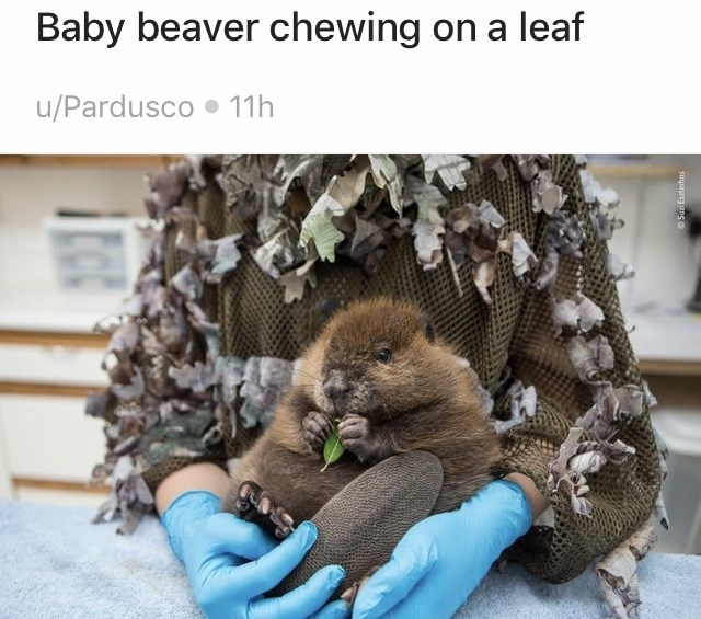 Fur - Baby beaver chewing on a leaf u/Pardusco • 11h OSuzi Eszterhas