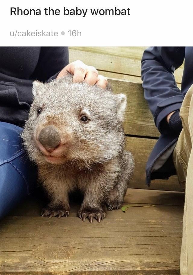 Vertebrate - Rhona the baby wombat u/cakeiskate • 16h