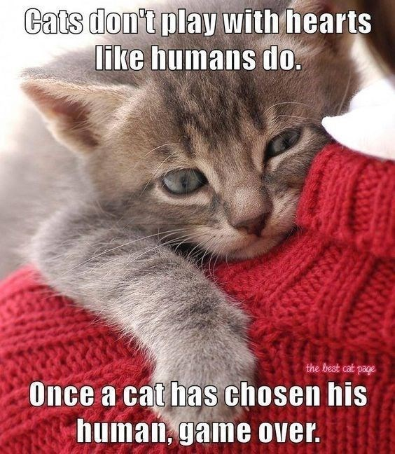 cats don't play with hearts like humans do once a cat has chosen his human game over pic of a grey kitty with green eyes hugging a person's shoulder dressed in a red sweater
