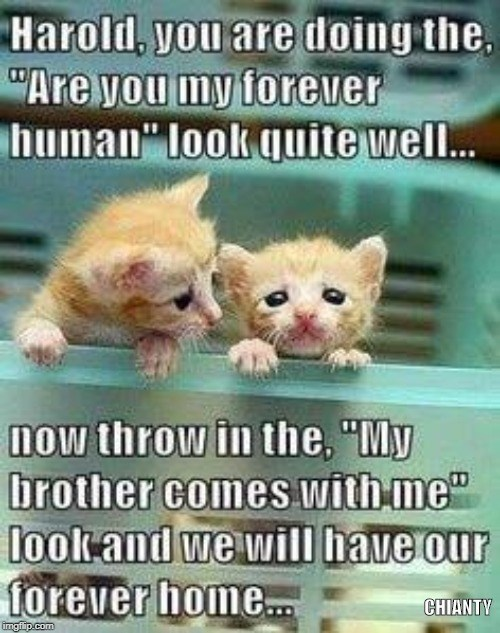 """Cat - Harold, you are doing the, """"Are you my forever human"""" look quite well.. now throw in the, """"My brother comes with me"""" look and we wil have our forever home. CHIANTY imgfip.com"""