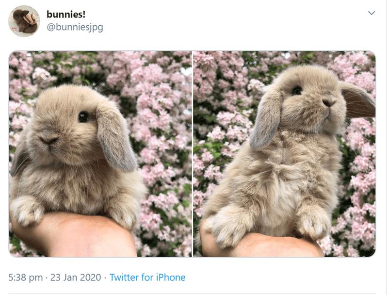 Domestic rabbit - bunnies! @bunniesjpg 5:38 pm · 23 Jan 2020 · Twitter for iPhone