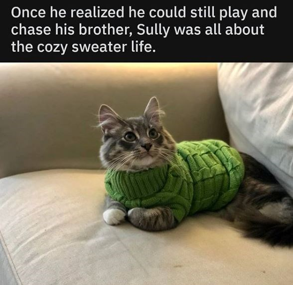 Cat - Once he realized he could still play and chase his brother, Sully was all about the cozy sweater life.