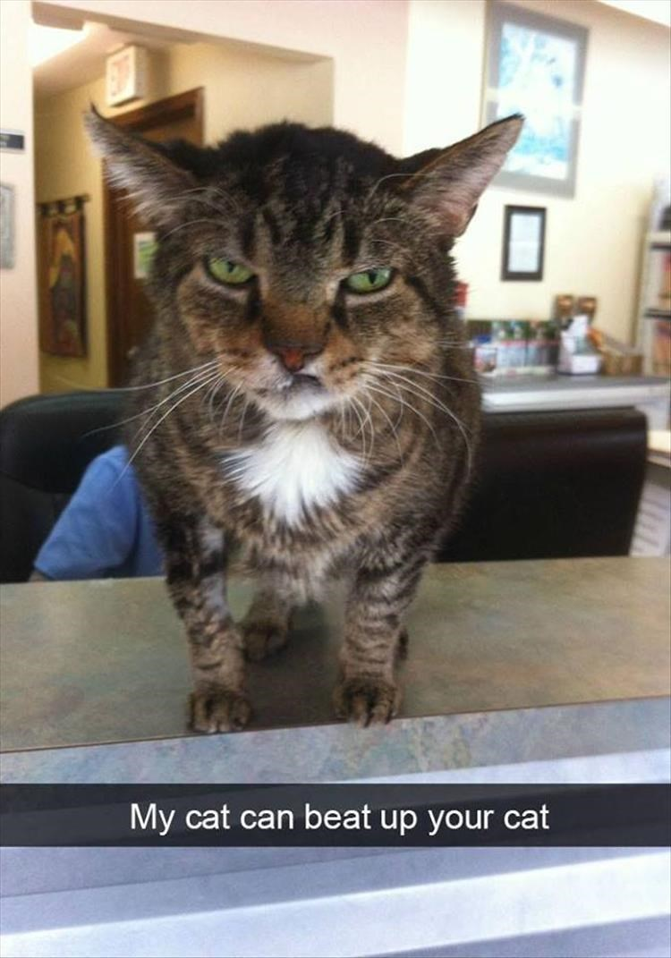 Cat - My cat can beat up your cat