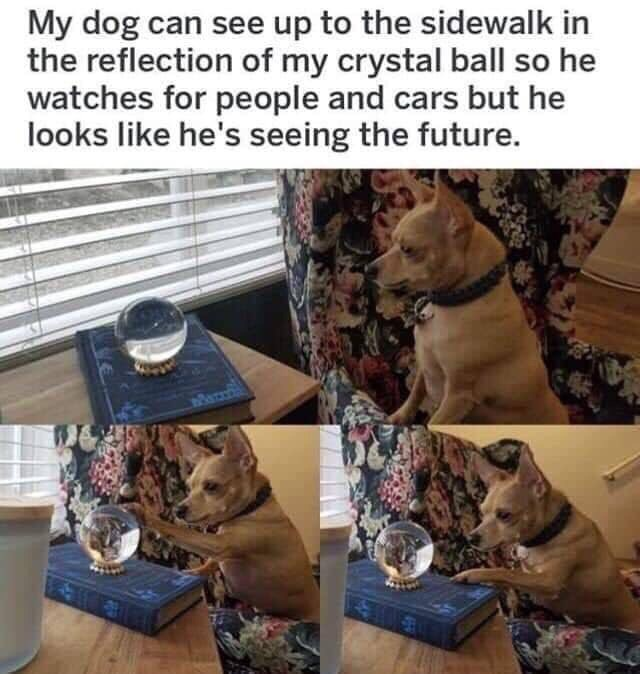 Canidae - My dog can see up to the sidewalk in the reflection of my crystal ball so he watches for people and cars but he looks like he's seeing the future.