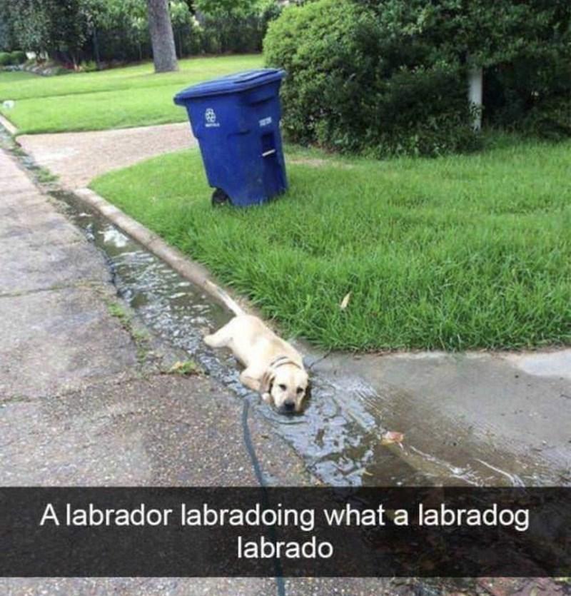 Water - A labrador labradoing what a labradog labrado