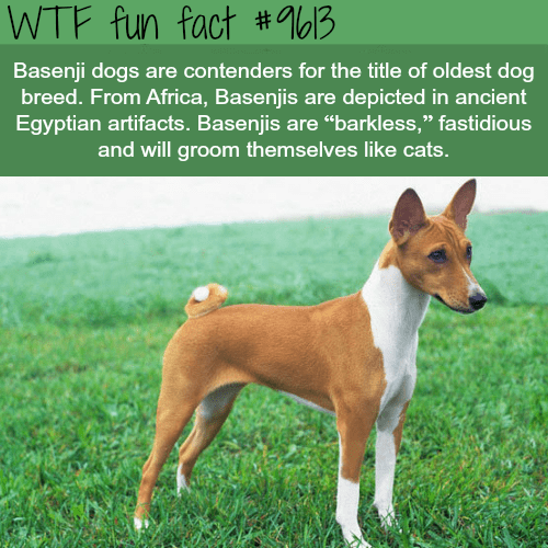 """Dog - WTF fun fact # 9613 Basenji dogs are contenders for the title of oldest dog breed. From Africa, Basenjis are depicted in ancient Egyptian artifacts. Basenjis are """"""""barkless,"""" fastidious and will groom themselves like cats."""