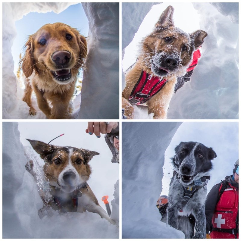 four pics of cute dogs taken through a snowy hole looking at a camera Avalanche rescue dogs wearing harnesses mountain snowstorm dogs with jobs