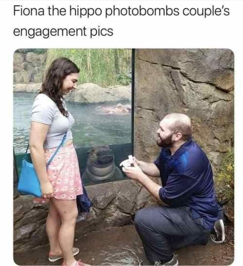 Adaptation - Fiona the hippo photobombs couple's engagement pics