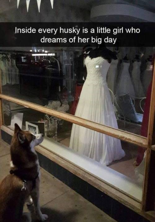 inside every husky is a little girl who dreams of her big day pic of a husky dog sitting in front of a window of a weddings gowns shop looking at a mannequin in a white bride's dress