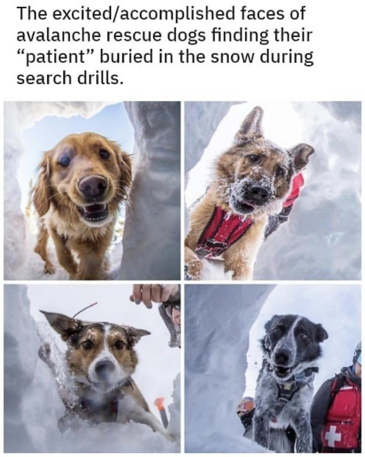 """Dog breed - The excited/accomplished faces of avalanche rescue dogs finding their """"patient"""" buried in the snow during search drills."""