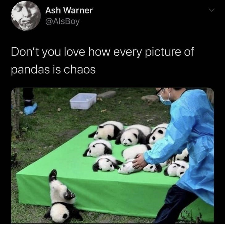 Panda - Ash Warner @AlsBoy Don't you love how every picture of pandas is chaos