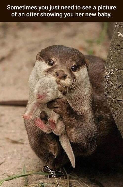 Vertebrate - Sometimes you just need to see a picture of an otter showing you her new baby.