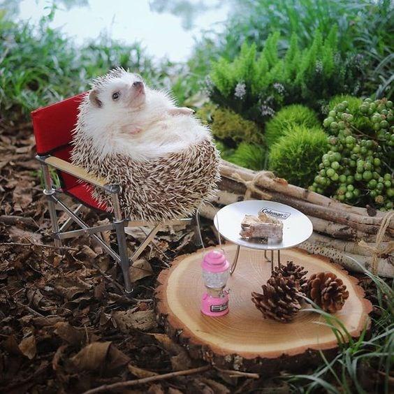 Hedgehog - Coleman