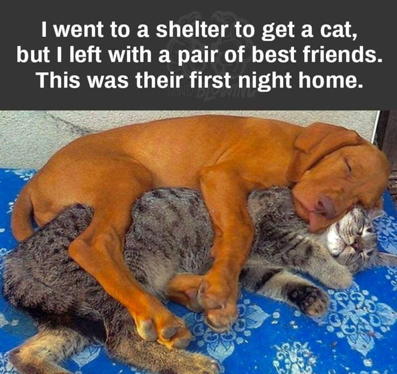 i went to a shelter to get a cat but i left with a pair of best friends this was their first night home pic of a brown dog wrapped around a large grey cat sleeping
