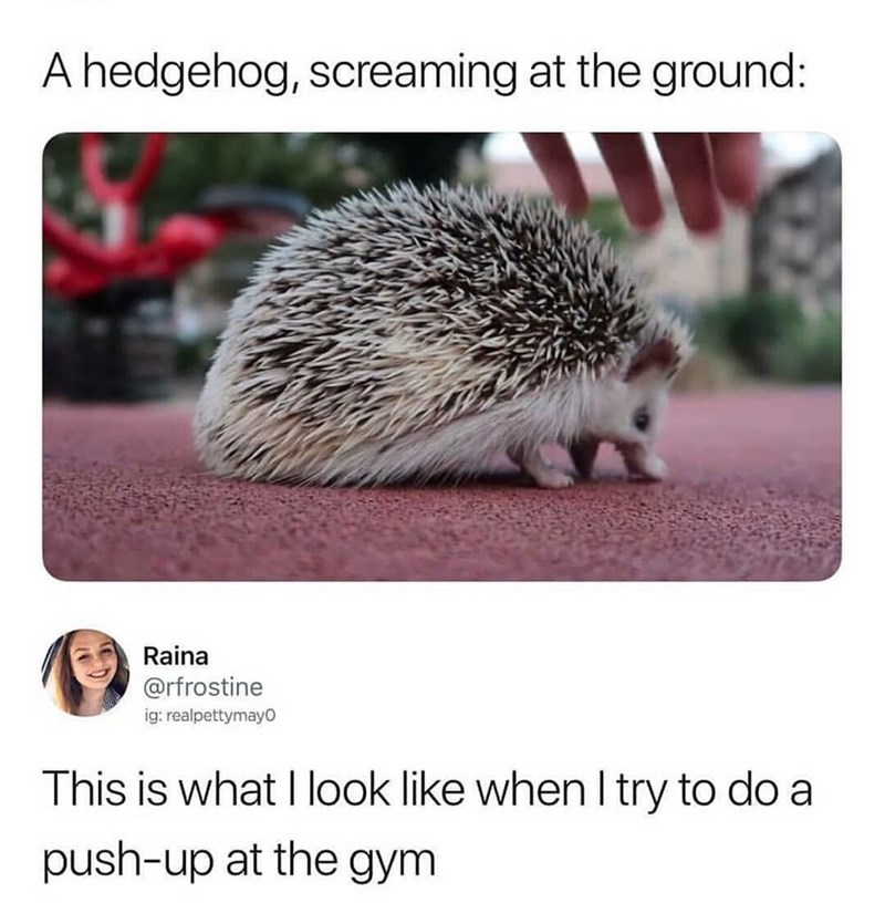 Hedgehog - A hedgehog, screaming at the ground: Raina @rfrostine ig: realpettymayo This is what I look like when I try to do a push-up at the gym