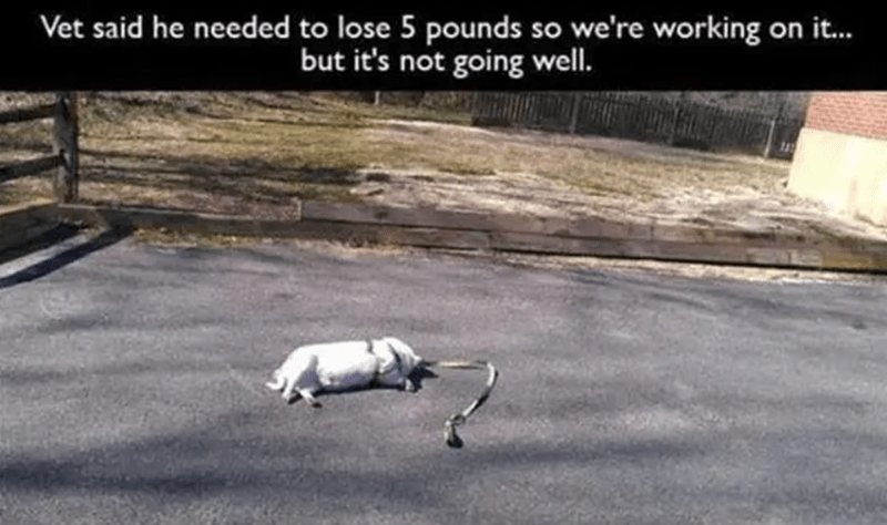 vet said he needed to lose 5 pounds so we're working on it... but it's not going well | pic of a white chubby chonky dog lying on its side exhausted with the leash on the ground