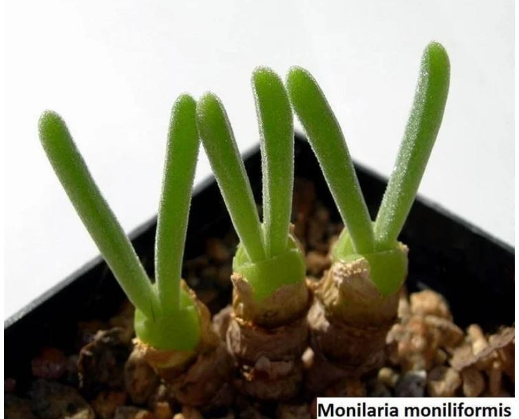 Flower - Monilaria moniliformis