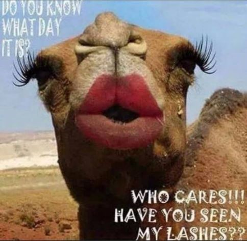 Camel - DO YOU KNOW WHAT DAY IT IS? WHO CARES!!! HAVE YOU SEEN MY LASHES??