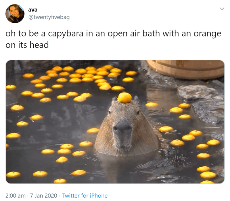 Adaptation - ava @twentyfivebag oh to be a capybara in an open air bath with an orange on its head 2:00 am · 7 Jan 2020 · Twitter for iPhone