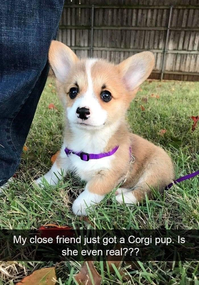 Dog - My close friend just got a Corgi pup. Is she even real???