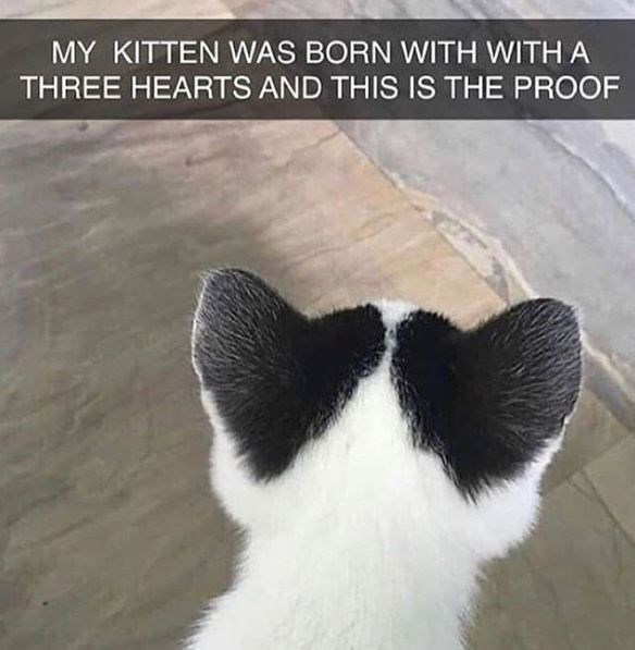 MY KITTEN WAS BORN WITH WITH A THREE HEARTS AND THIS IS THE PROOF photo of the back of a white kitten's head with black stains on its ears shaped like hearts
