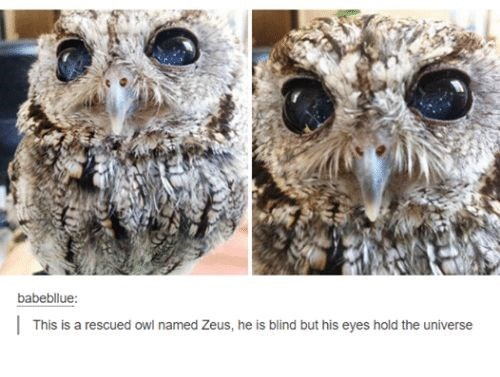 Owl - babebliue: | This is a rescued owl named Zeus, he is blind but his eyes hold the universe