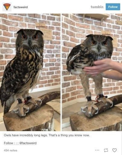 Owl - tumbir. Follow factsweird Owls have incredibly long legs. That's a thing you know now. Follow ::: @tactsweird 454 notes