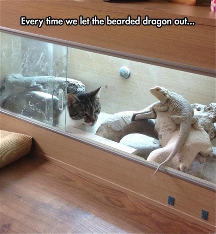 Cat - Every time we let the bearded dragon out.