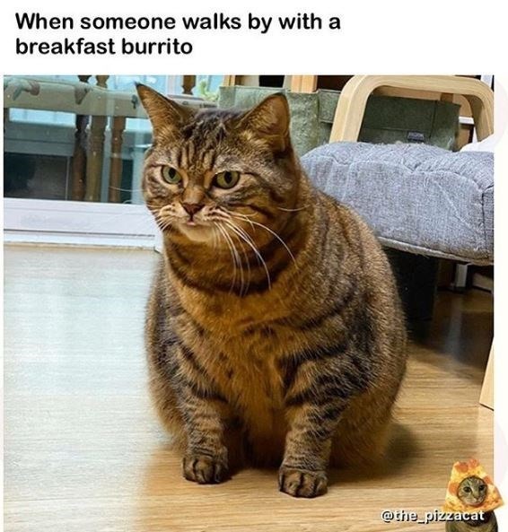 Cat - When someone walks by with a breakfast burrito @the pizzacat
