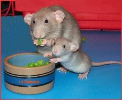 Mammal - LI Ratocale