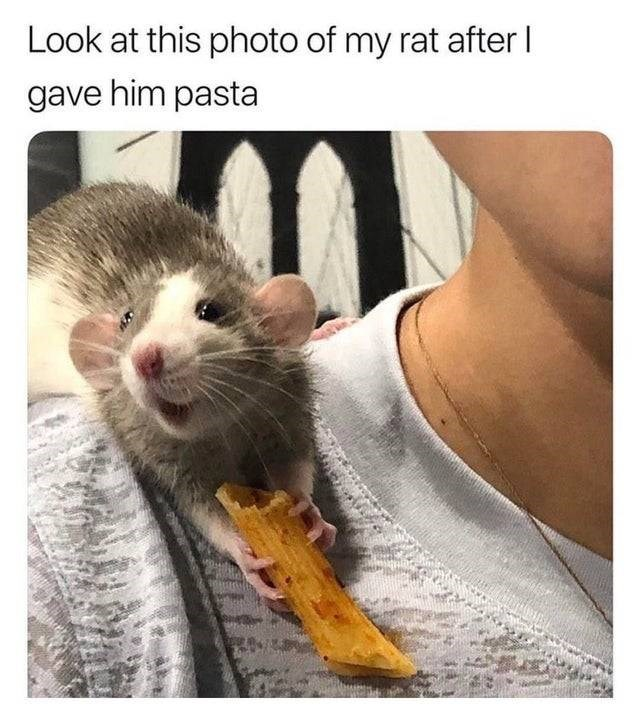 Rat - Look at this photo of my rat after I gave him pasta