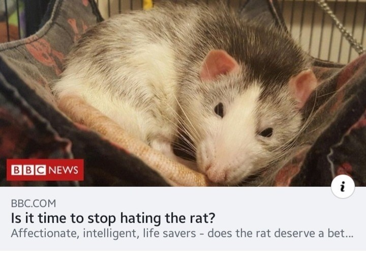 Mammal - BBC NEWS BBC.COM Is it time to stop hating the rat? Affectionate, intelligent, life savers does the rat deserve a bet...